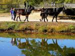 Mules in Tanden Tow Boat in Canal animaux provenant de Mule