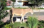 Mule Walks On Grass By Bench and Troipcal City Street animaux provenant de Mule