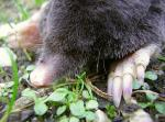 Close-Up of Mole Face and Claws animaux provenant de Taupe