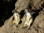 Two Meerkit Sit Together On Slope With Deep Shadows animaux provenant de Suricate