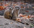Meerkat Couple On Dirt Hill With Fallen Autumn Leaves animaux provenant de Suricate