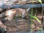 Sleeping Caracal! animaux provenant de Lynx