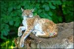 Blue-Eyed Spotted Lynx Reclines on Stump, Leafy Green Background animaux provenant de Lynx