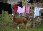 Brown Llama With White Markings Under Laundry Near Stone Foundation animaux provenant de Lama