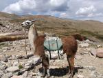 Tacked-Up Pack Llama in Boulderscape Near Colorado Mountaintop animaux provenant de Lama