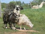 A Pair of Llamas With Exceptionally Long Wooly Coats animaux provenant de Lama