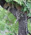 Tired Leopard Hugs Tree With Powerfu Arms — Long Tail! animaux provenant de Leopard