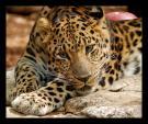 Spectactular Photograph of Inquisitive Leopard animaux provenant de Leopard