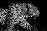 Monchrome Side View Picture of Leopard (Black and White) animaux provenant de Leopard