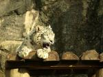 Snow Leopard With Open Mouth Shows Sharp Teeth animaux provenant de Leopard