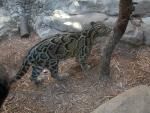 Unusual Picture of Clouded Leopard — Beautiful! animaux provenant de Leopard
