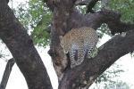 Leopard in Tree Looks a Little Dangerous animaux de                   Jaima28 provenant de Leopard