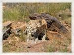 Proud Leopard Stands By Rocks in Grassland animaux provenant de Leopard