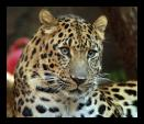 Striking Picture of Leopard With Beautiful Eyes animaux provenant de Leopard