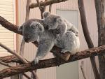 Kawaii Koala Rides on Mother's Back animaux provenant de Koala