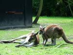 Picture of Kangaroo Standing and Kangaroo Lying Down animaux provenant de Kangourou