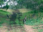 Three Kangaroos Encounted On Dirt Road in Austrailia animaux provenant de Kangourou