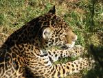 Magnificient Jagaur With Whiskers and Huge Paws animaux provenant de Jaguar