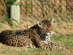 Picture of Jaguar Laying in Sun animaux provenant de Jaguar