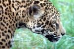 Close-up of Jaguar Face in Profile animaux provenant de Jaguar