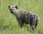 Cute Young Hyena with Wet Fur in Green Grass animaux provenant de Hyène