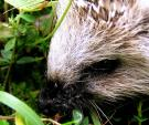 Close-Up of Hedgehog Face; Cute Black Nose! animaux provenant de Hérisson