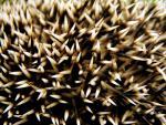 Extreme Close-Up of Hedgehog's Spines! animaux provenant de Hérisson