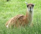 Alert Guanaco Sits in Grass animaux provenant de Guanaco
