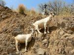 Two White Belled Goats on Rocky Slope animaux provenant de Ch�vre