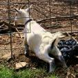 White Billy Goat Squeezes Through Fence animaux provenant de Ch�vre