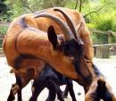 Big Brown Goat Is Highly Protective Of Little Goats animaux provenant de Ch�vre