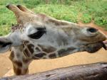 Wide-Angle Distorted Giraffe Pokes Head Over Wood Rail animaux provenant de Girafe