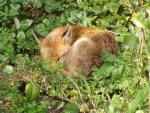 Sleeping Red Fox Curled into a Ball With Ears Sticking Up animaux provenant de Renard