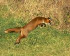 Leaping Red Fox in Grass Caught in Mid-Air animaux provenant de Renard