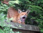 European City Fox Stretches and Yawns on Rooftop animaux provenant de Renard