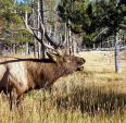 Elk Bull Makes a Big Noise animaux provenant de Elan