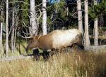 Elder Elk in Dried Grass Near Edge of Forest animaux provenant de Elan