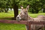 France: Donkey with Trees and Wood Rail Fence animaux provenant de Ane