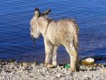 The Cutest Super-Shag Donkey By a Bolivian Lake animaux provenant de Ane