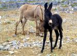 Two Donkeys in a Very Rocky Field animaux provenant de Ane