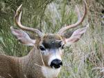 Stag with Wonderful Black Eyes and Nose animaux provenant de Cerf