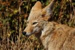Wise-looking Coyote animaux provenant de Coyote