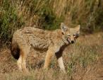 Lovely Coyote in the Grass animaux provenant de Coyote