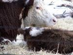 Hereford Mommy and Baby animaux provenant de Vache