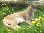 Cougar With Tree and Dandilions animaux provenant de Puma
