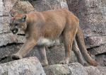 Cougar Walks on Rocks with Big paws animaux provenant de Puma
