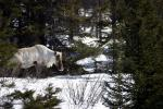 White Caribou in the Snow With Spruces animaux provenant de Renne