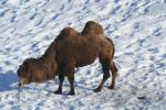 Unusual: Camel in the Snow! animaux provenant de Chameau