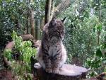 Zoo Bobcat in Naturalistic Environment animaux provenant de Bobcats