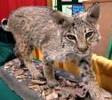 Bobcat Indoors (not a zoo!) animaux provenant de Bobcats